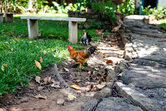 Rooster and chicken pecking in the garden