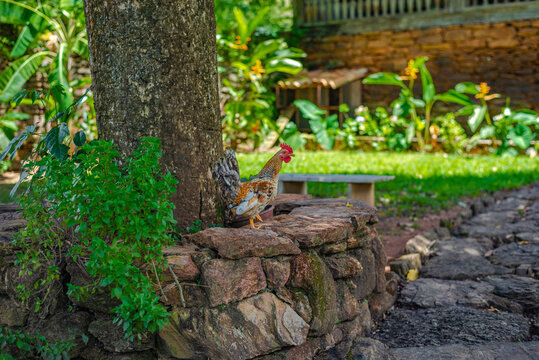 Rooster on stone bench in the garden