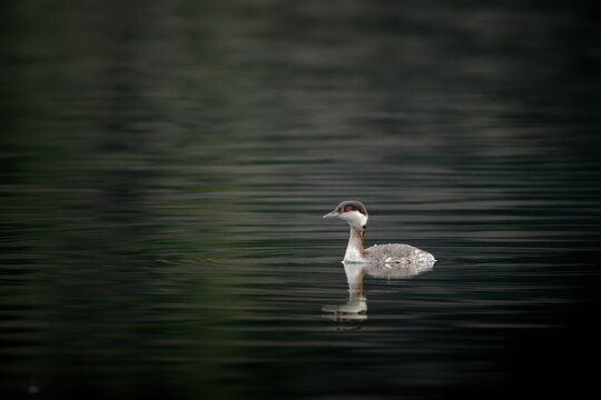 Western grebe swimming in the lake