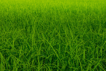 Green rice trees in the field in the rainy season Southeast asia Wall mural