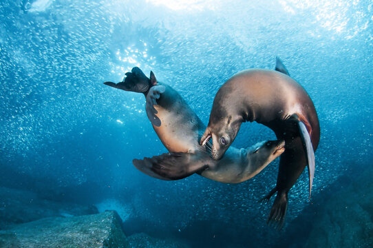 The sea lion is swimming. Is love