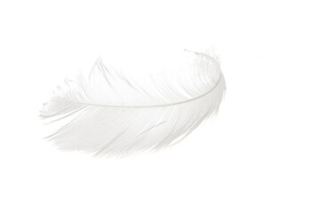 swan feather isolated