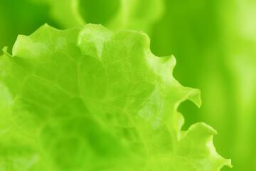 Close-up of fresh leaf of salad