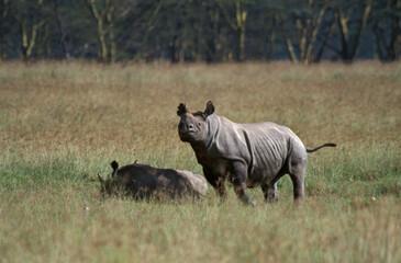 Printed kitchen splashbacks Rhino Zwarte Neushoorn, Black Rhinoceros, Diceros bicornis