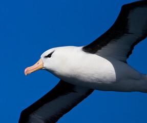 Fototapeta Wenkbrauwalbatros; Black-browed Albatross; Thalassarche melanophrys obraz