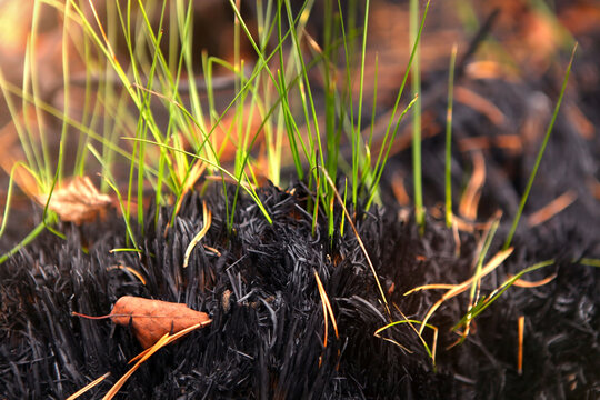 Germination of grass after a fire, restoration of nature.