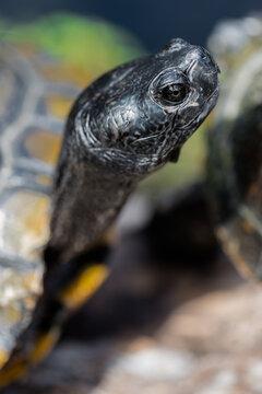 Portrait of a Pond Turtle