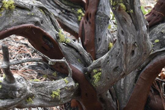 Moss on Manzanita bush
