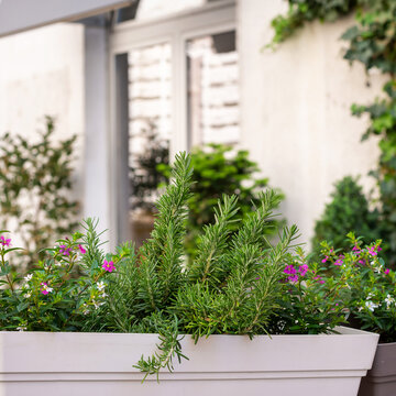 Growing herbs at home, rosemary and other herbs in pot on a balcony or terrace garden.