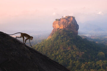 A toque macaque monkey runs down a slope at Pidurangala Hill with a jungle landscape view of the ancient Sigiriya rock fortress in the background in Sri Lanka.