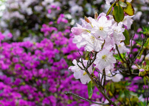 Pink blossoms of a rhododendron bush in  spring