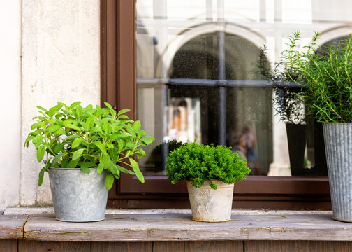 Growing herbs in pots  on a window