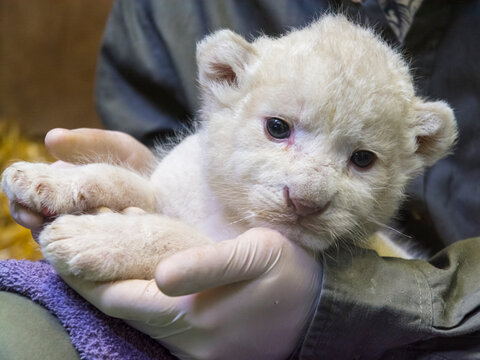 White lion baby in the hands of her zookeeper