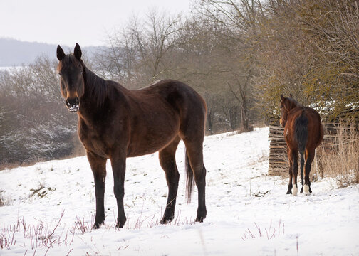 Horses in a winter snow farm field