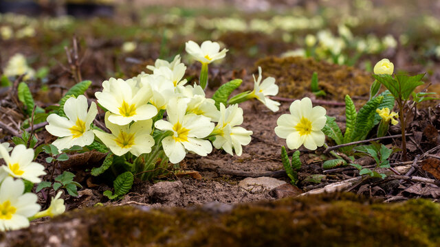 Yellow primrose flower in early spring