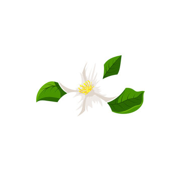 White jasmine flower isolated herbal tea ingredient. Vector blooming plant, flower with yellow middle and green leaves, jasminum icon. Fragrant aromatic jessamine in blossom, realistic tea herb
