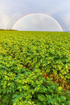 UK, Scotland, East Lothian, Double rainbow over field of potatoes (Solanum tuberosum)