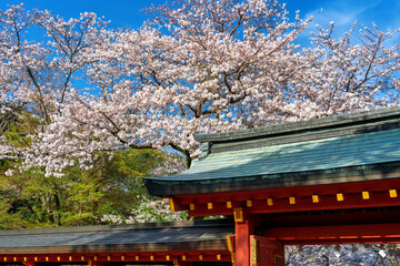 Wall Mural - Temple roof and Cherry blossom in springtime, Japan.