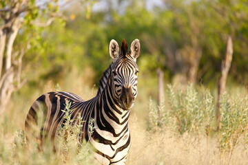 Printed kitchen splashbacks Zebra Closeup of a zebra against open woods in a savanna