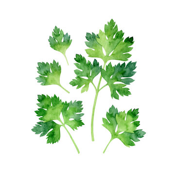 Watercolor isolated fresh parsley on white background