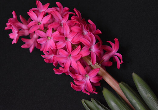 pink  hyacinth flower isolated on a black , minimal   floral arrangement