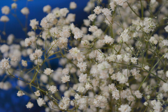 Small white gypsophila(baby's breath) flowers on a blue background. Beautiful spring floral composition. Romantic light natural arrangement. Flat lay,copy space