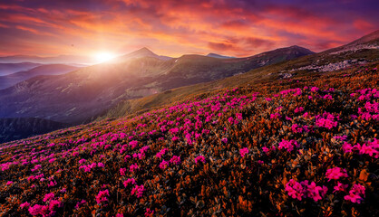 Fantastic Mountain landscape during sunset. Pink rhododendron flowers on under sunlight. Amazing nature scenery. Stunning natural landscape background. Travel adventure and freedom concept.