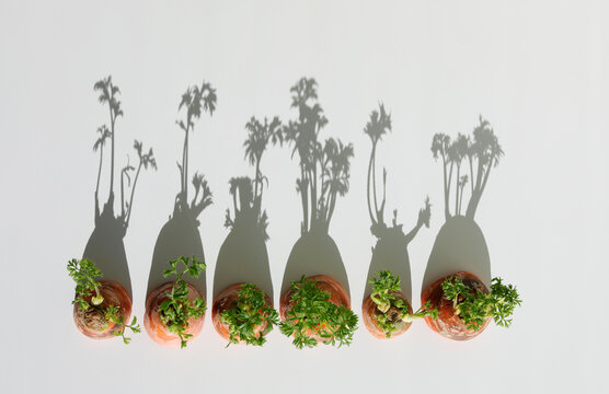 Carrots with long harsh shadows in sunlight. Propagation in water. Repeated propagation of carrots concept. Copy space. Flat lay.