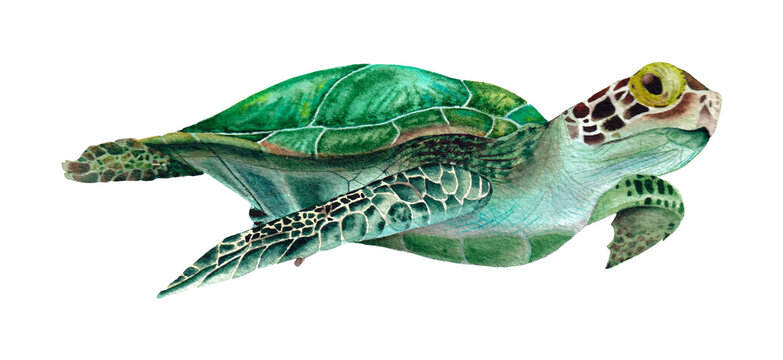 Hand drawn sea turtle. Watercolor illustration on the white background.