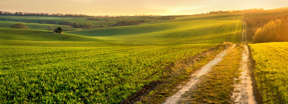 Green waves of wheat field sown with a line with a dirt road in the evening