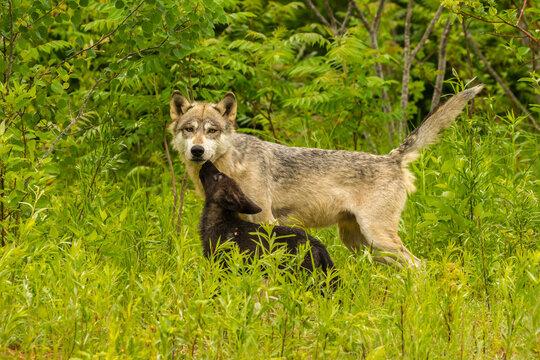 USA, Minnesota, Pine County. Adult wolf and pup.