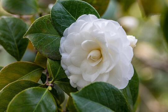 Camellia Japonica Alba Plena flower grown in a garden