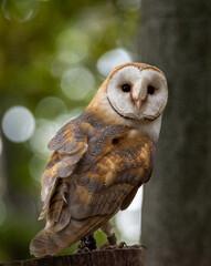ptactwo, sowa, płomykówka, dzika natura, ptak drapieżny, dzika, pierze, drapieznik,