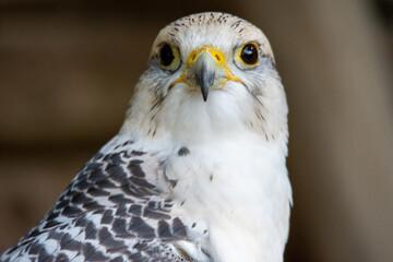 ptak drapieżny, bird, ptak, dzika natura, jastrząb, drapieżnik