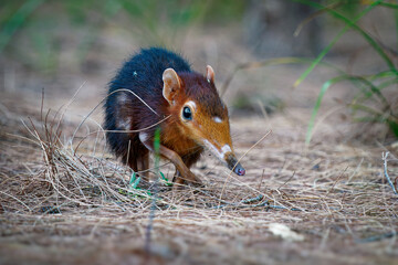 Black and rufous elephant shrew -Rhynchocyon petersi or sengi or Zanj elephant shrew, found only in Africa, native to the lowland montane and dense forests of Kenya and Tanzania