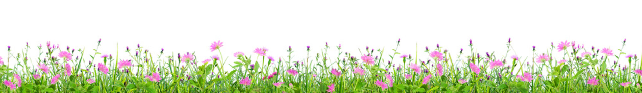 green grass and pink spring flowers isolated on white background
