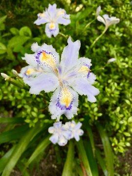 シャガの花 Iris japonica 胡蝶花