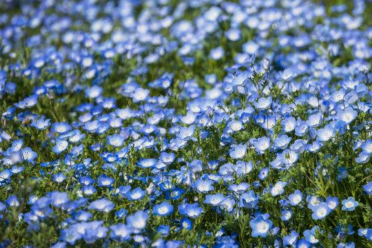画面一杯のネモフィラ(Nemophila menziesii)/大宮花の丘農林公苑(埼玉県さいたま市)