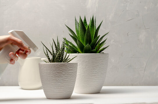 Closeup of woman's hand spraying water on succulent.