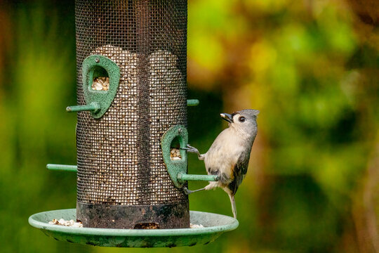Close up of a Tufted Titmouse on a bird feeder