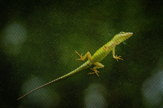 An Anole climbs across the screen roof over our lanai.