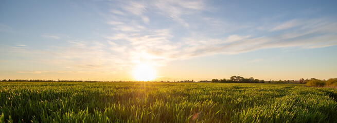 Fototapete - Rural summer landscape at sunset or sunrise. Sun rises from the grass to the top of field in the sun rays. Green field of wheat and blue sky on farm. Green meadow. Nature, wilderness. Agriculture.