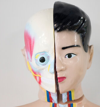 Human internal organs face dummy, training dummy, face details. The concept of healthcare.