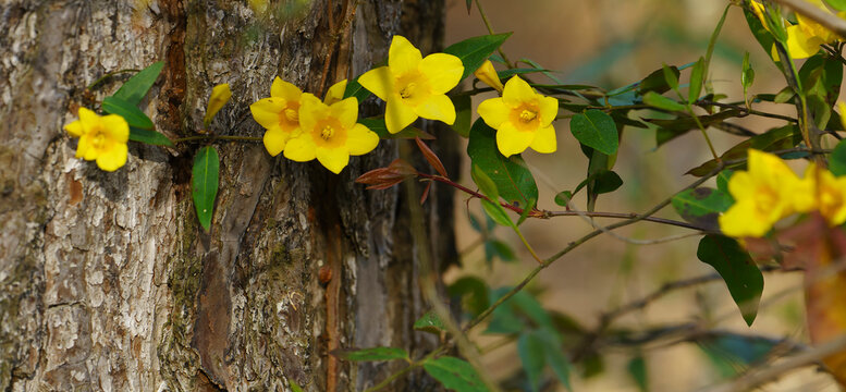 Beautiful Yellow Jessamine vine, climbing on a pine tree in a pine savanna meadow, is a native wildflower and an early spring food source for pollinators