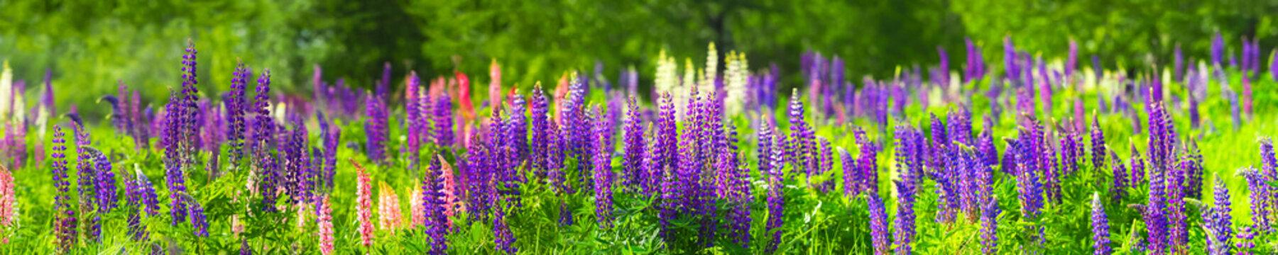 Sundial lupine, beautiful bloom. Flowering Lupinus perennis, panoramic view, Green wild field