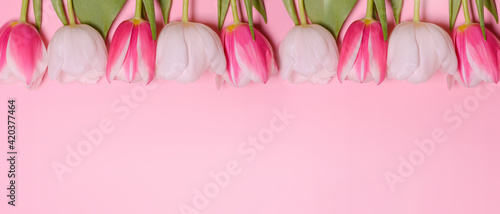 Pink tulips on a pink background. Flat lay, top view. Love, International Women day,8 March, Happy Easter, Mother day and Happy Valentine day concept. Copy space for text. Banner