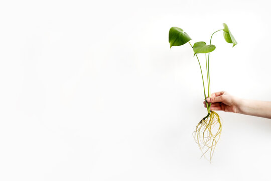 A female hand holds a Monstera deliciosa or Swiss cheese plant with long roots on white background. Rooting plants, root of monstera deliciosa after water propagation. Growing flowers at home