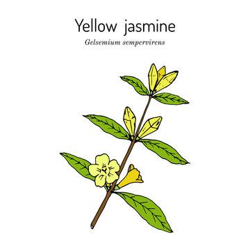 Yellow jessamine Gelsemium sempervirens , medicinal plant
