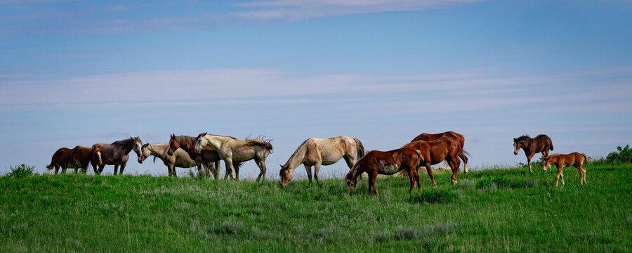 Wild Horse Herd, Theodore Roosevelt National Park, North Dakota, USA