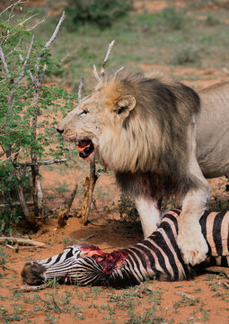 A lion eating zebra in a national park